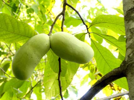 Our Superior Pawpaw Trees Come From The Orchards At Ksu Links Below Containing Some Of Best Known Cultivars As Well Many All Over
