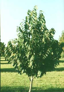 Pyramidal Pawpaw Tree Growing In An Orchard