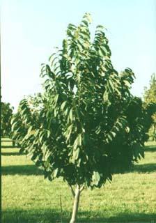Trees of Ohio: Pawpaw