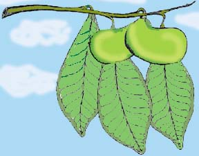 Natural Remedies Derived from Pawpaw